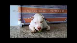 Ear taping tutorial (natural ears) (Am Bully, Pitbull, Am Staff)