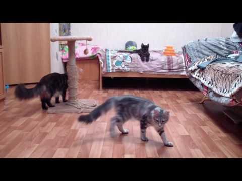Котята мейн-кун 4 месяца