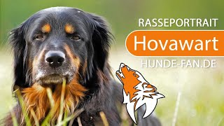 Hovawart [2019] Breed, Appearance & Character
