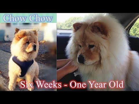 Chow Chow from 6 weeks puppy to One-Year-old dog memorable, cute, funny Flashback Moments with Jason