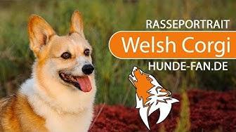 Welsh Corgi [2019] Rasse, Aussehen & Charakter