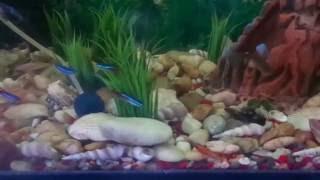 Аквариумные рыбки в домашнем аквариуме - неоны, сомы, меченосцы, малинезии и гуппи.