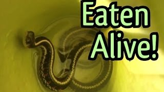 snake eaten alive carnivorous plant eats pet snake alive you will be scared by the end of this