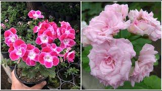 Секреты пышного цветения герани / пеларгонии
