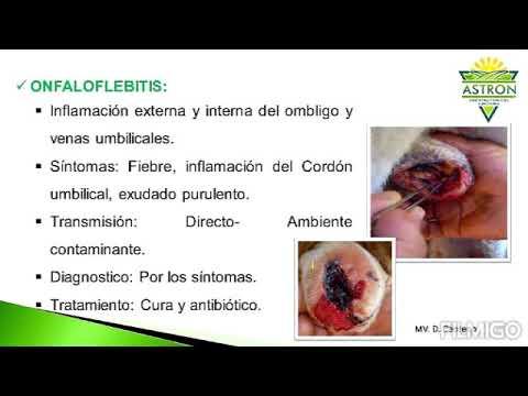 Como Curar y tratar Inflamación en el Ombligo en Becerros ...