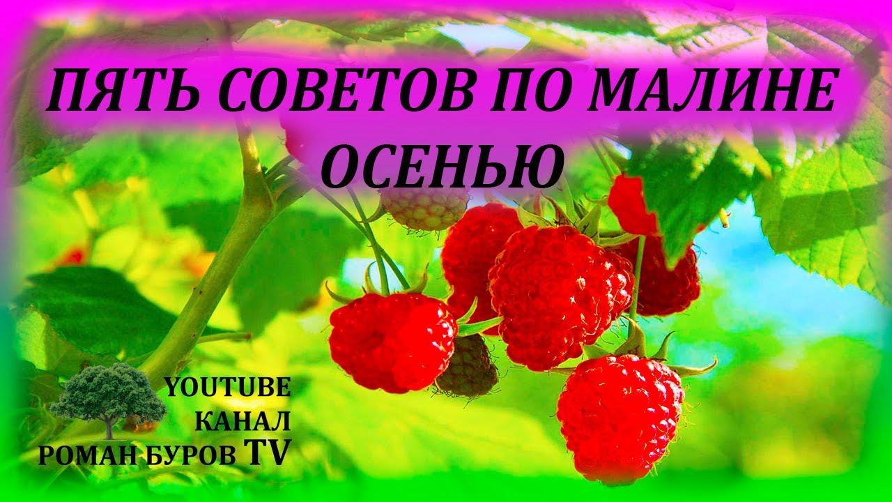 Пять советов по выращиванию малины осенью. Как выращивать малину. Подкормка малины. Обрезка малины.