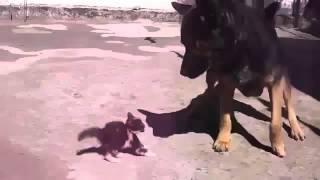 Очень смелый котенок кидается на овчарку