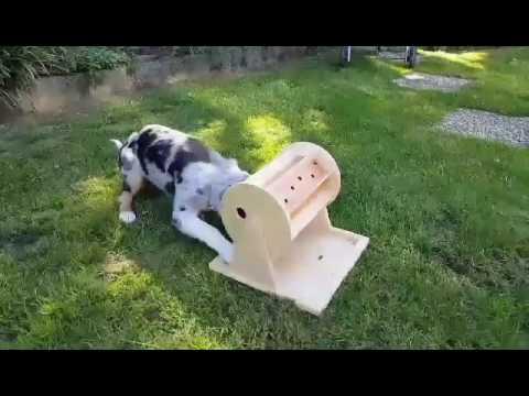 Australian Shepherd Puppy absolutely rocking intelligent dog games!