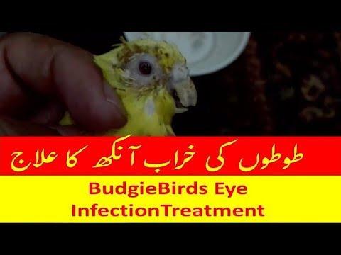 Full Download] Budgie Parrot Ki Kharab Ankh Ka Ilaj Urdu Me