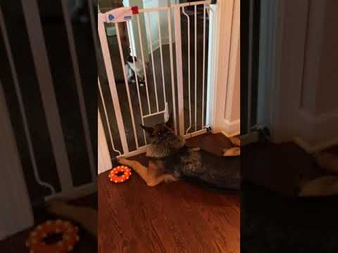 Baby Gate with Cat Door Tall - 🐶 German Shepherd Parker and 🐱 Ragdoll Cat Caymus - Floppycats