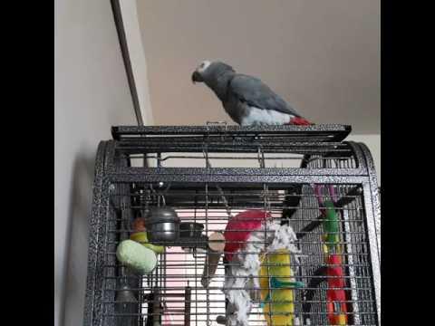 Gertie - Amazing Talking Yorkshire Parrot.
