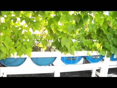 Aquaponic Greenhouse tour