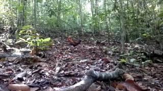 Video Pikat ayam hutan selapis download MP3, 3GP, MP4, WEBM, AVI, FLV Juli 2018