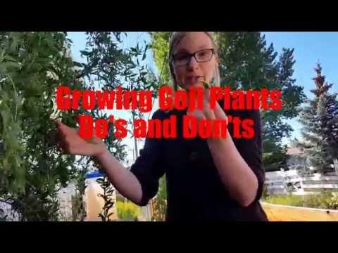 Growing Goji Plants: Do