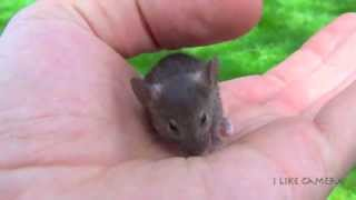 Too Cute Baby Mouse in My Hand. Very Funny Small Animal, Rodent