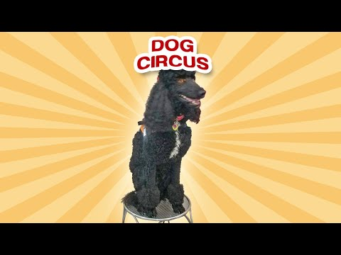 Dog Circus Show - A Total Hit