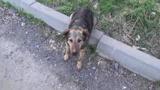 Дрессированная собака (дворняжка)