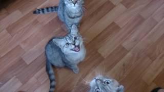 Шотландские котята Скоттиш фолд и скоттиш страйт гурманы,любят ананас ШОК!!!