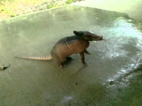 Armadillo desperate for water!!