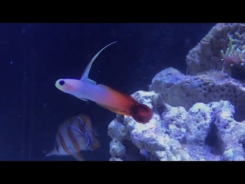 Adding The Colorful Firefish To The Tank!