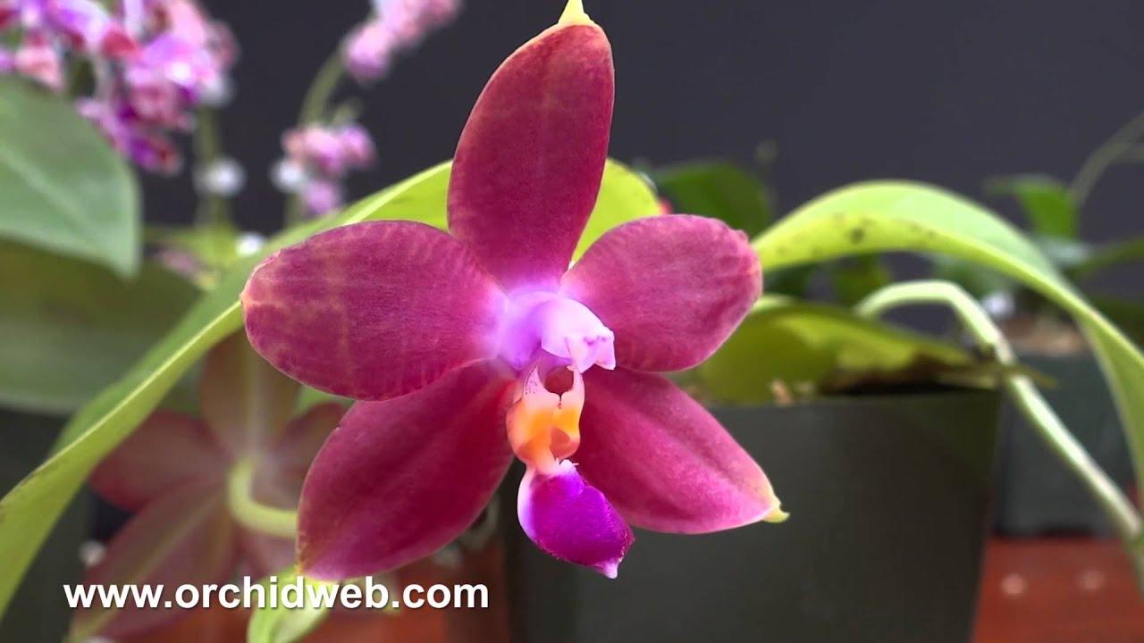 Orchidweb Phalaenopsis Species Youtube