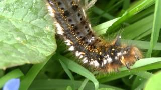 Видео про гусениц для детей(Юным натуралистам любопытно будет узнать, кто такой коконопряд и как гусеница ест листья и траву. Видео..., 2015-05-25T13:59:57.000Z)