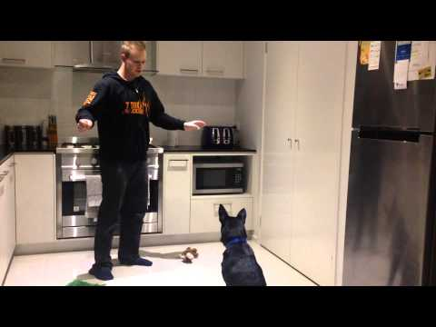 Nox the Australian Kelpie - 6 months old - Training instruction and re-instruction.