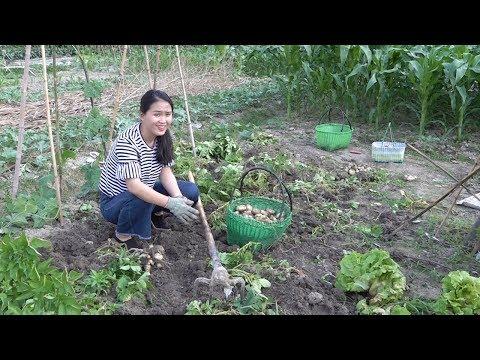 農村姑娘挖土豆,三五下就挖了兩籃,真是大豐收