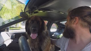 Giant Dog in a Small Car. Will a Leonberger Fit into a 300ZX?