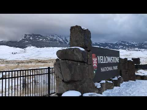 COYOTES HOWLING IN THE HILLS -- YELLOWSTONE PARK'S NORTH ENTRANCE