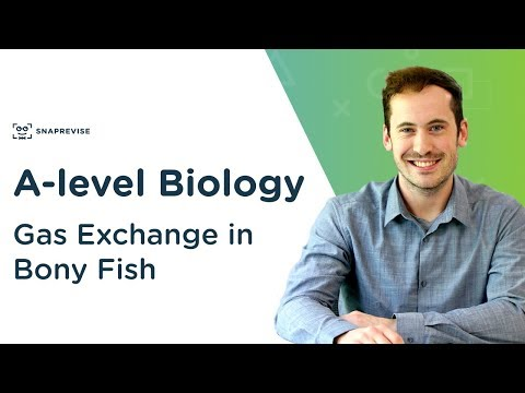 Gas Exchange In Bony Fish  | A-level Biology | OCR, AQA, Edexcel