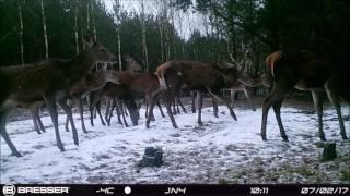 dziki wilki jelenie - kujawsko - pomorskie