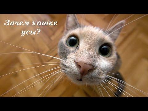 Вопрос: Зачем кошкам усы?