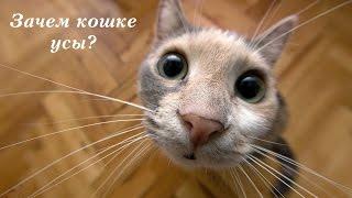 Зачем кошке усы?