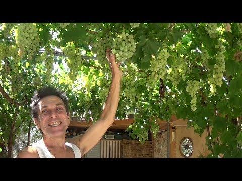 Une treille avec de la vigne … magique et indispensable.