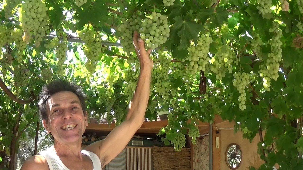 Comment Planter Une Vigne Grimpante une treille avec de la vigne … magique et indispensable.
