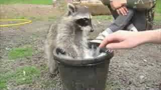 playing with young raccoon