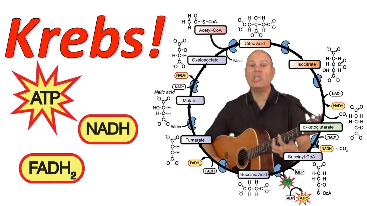 glycolysis and krebs cycle diagram honeywell fan limit switch wiring simple steps