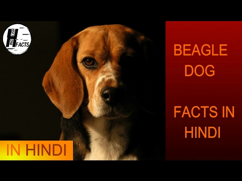 Beagle Dog Facts | Hindi | Dog Facts | HINGLISH FACTS