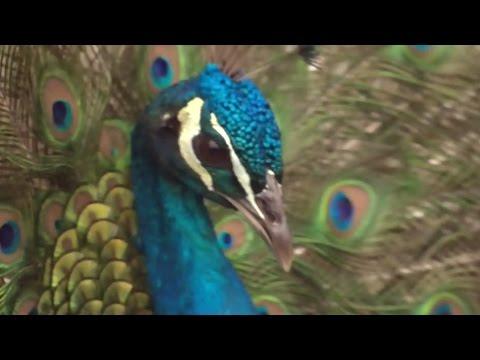 Unusual love story: Peacock falls for turkey on B.C. farm