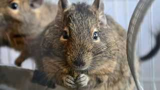 Дегу чилийская белка/Degu Chilean squirrel