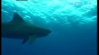 Впечатляющий фильм о гармоничном общении человека с акулами