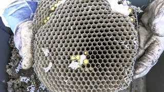 Yellow Jackets MASSIVE GROUND NESTS Wasp Nest Removals Stings ASMR