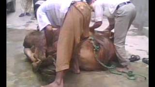 Angry cow qurbani lahore part 2.AVI
