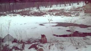 Covered Bridge And A German Shepherd Dog
