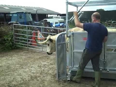 Ritchie Highland Cattle Crate Working With WHITE PARK Cattle