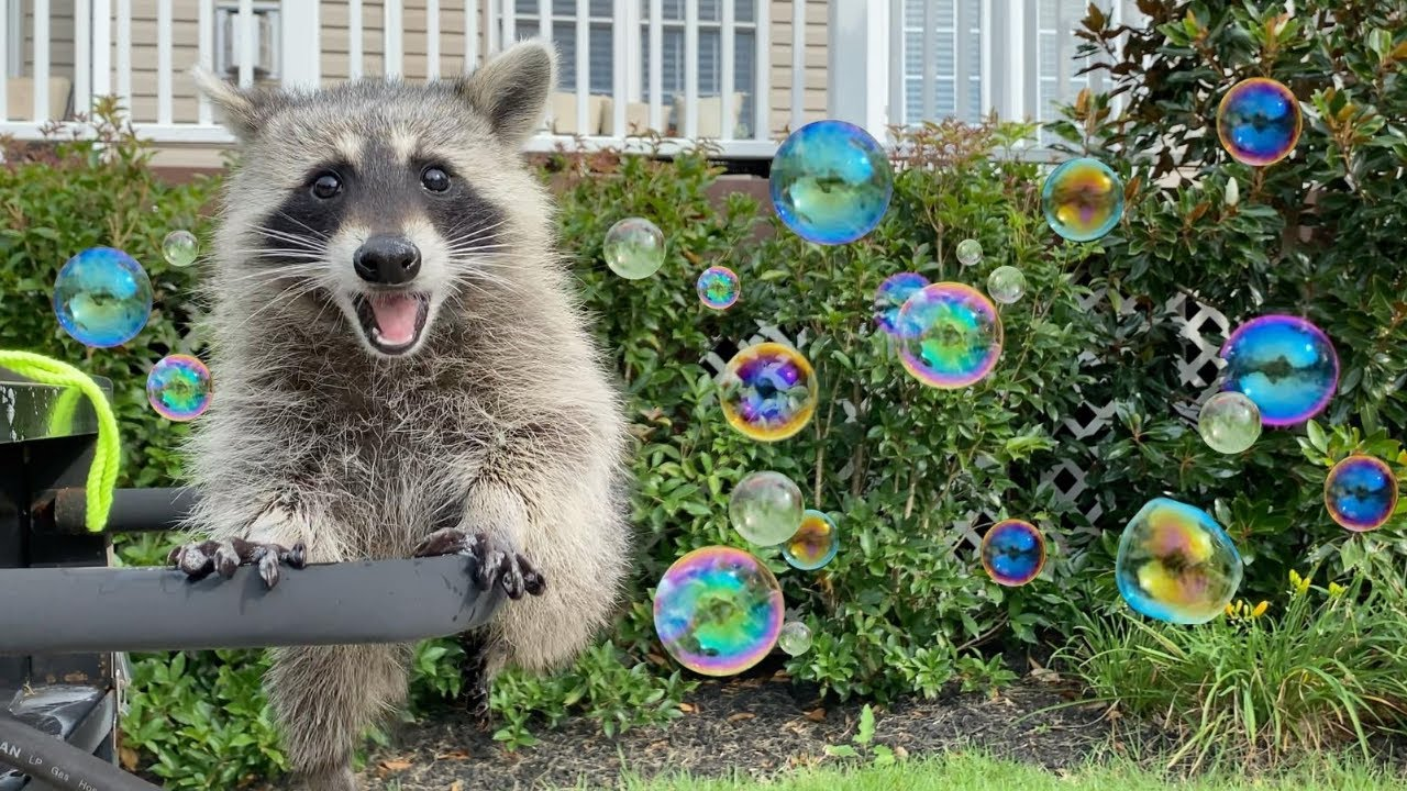Raccoons See Bubbles for the First Time!