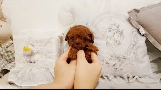 TEACUP RED POODLE | WeePuppies and Fam