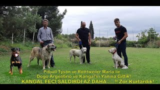 Pitbull Tyson ve Rottweiler ile Dogo Argentino ve Kangal 'ın Yanına Gittik - Kangal Feci Saldırdı
