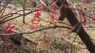 숲에서한나절-빨간열매들의 아름다움(매자나무,가막살나무열…